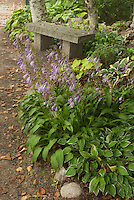 Hostas in shade with Hosta lancifolia in bloom next to bench with Betula birch trees in woodland garden setting