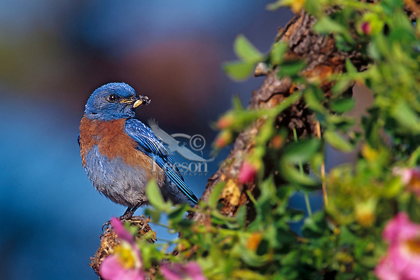 Male western bluebird with insect on perch surrounded by wild rose blossoms.  Pacific Northwest.  May.