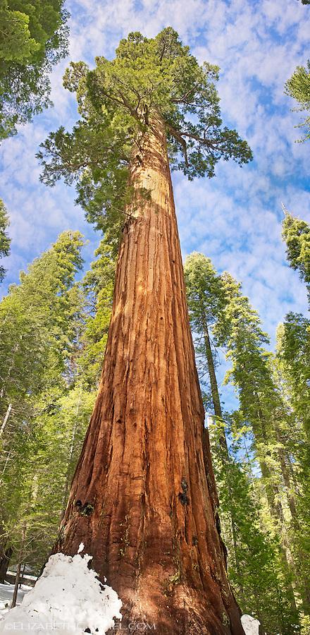 Sunlit Sequoia