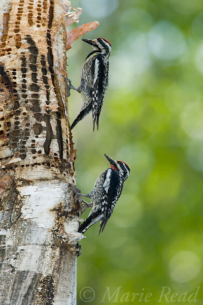 Yellow-bellied Sapsuckers (Sphyrapicus varius), pair (female above, male below) at sap wells, Millersburg, Michigan, USA