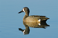 Blue-winged Teal, Anas discors,male, Port Aransas, Texas, USA, February 2003