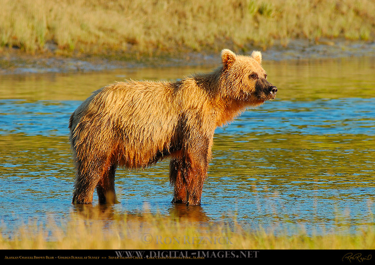 Alaskan Coastal Brown Bear, Golden Female Fishing at Sunset, Silver Salmon Creek, Lake Clark National Park, Alaska