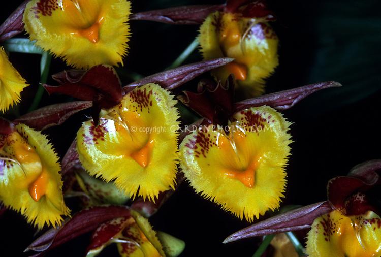 Catasetum Fanfare, Orchid primary hybrid.  (expansum x saccatum)
