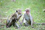 Toque Macaques