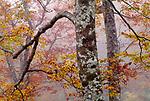 Maple trees, Yakushima, Japan