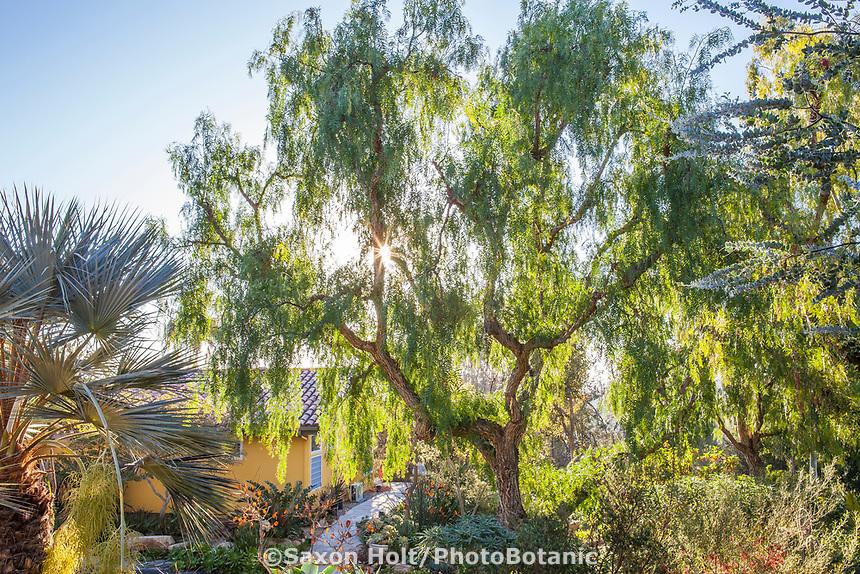 Schinus molle, California Pepper tree in Patrick Anderson sunny california garden