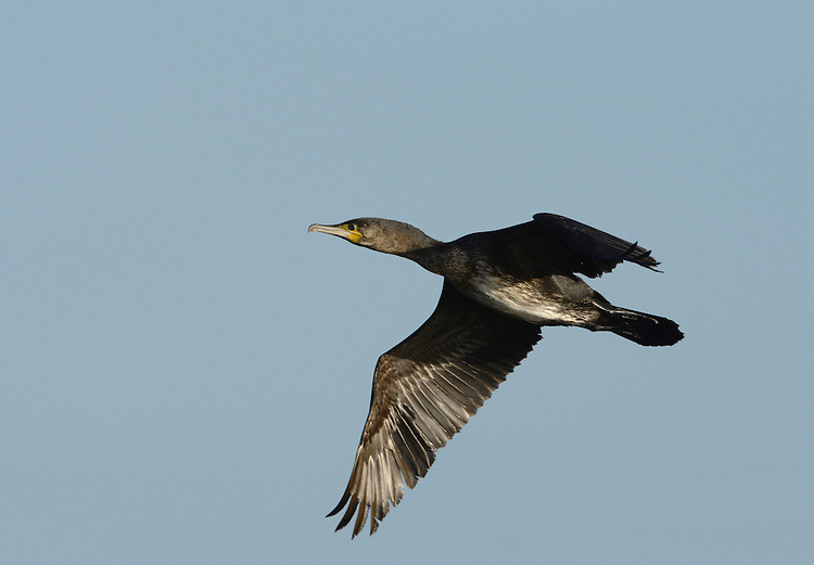 Cormorant Phalacrocorax carbo L 80-100cm. Dark water bird with heavy, hook-tipped bill. Swims low in water, propelled by large webbed feet. Wings often held outstretched when perched. Sexes are similar. Adult in summer is mainly dark with an oily sheen and black-bordered brownish feathers on wings, and white on thigh and head. Eye is green; skin at base of bill is yellowish. In winter, white feathering is absent. Juvenile has brown upperparts and whitish underparts. Voice Silent except at nest. Status Common, favouring sheltered seas and large freshwater lakes. Breeds colonially