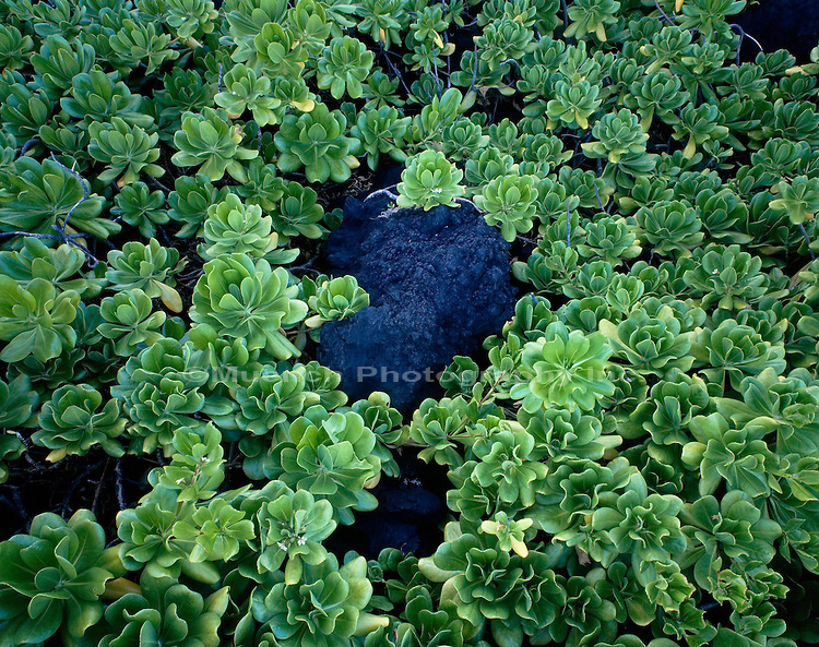 Beach Naupaka, Hala, Maui Waianapanapa State Park, HAWAII