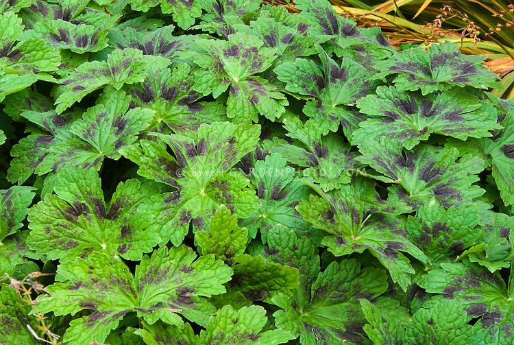 Geranium phaeum Samobor foliage