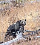 Grizzly bears can sometimes be seen in Yellowstone. Grizzly bears can sometimes be found in Yellowstone.
