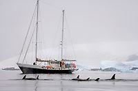 killer whale, Orcinus orca, or orca, pod passing a sailboat in waters along the western Antarctic peninsula, Antarctica, Southern Ocean