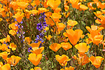 Escondido, California; a few purple lupine flowers amongst a field of California Poppies on a hillside on a sunny afternoon