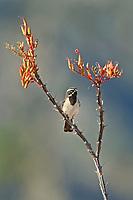 578670042 a wild male black-throated sparrow amphispiza bilineata perches on a flowering ocotillo foqueria splendens in the madera grasslands near madera canyon pima county arizona united states
