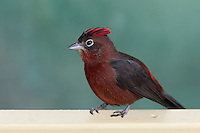 The Red-crested Finch(Coryphospingus cucullatus), is a species of bird in the Thraupidae family. Seen here on a freshly painted hand rail.
