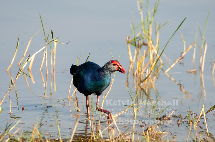 "Purple swamphen (Porphyrio porphyrio) is a ""swamp hen"" in the rail family Rallidae. Also known locally as the pūkeko, African purple swamphen, purple moorhen, purple gallinule or purple coot. From its French name talève sultane, it is also known as the sultana bird. This chicken-sized bird, with its large feet, bright plumage and red bill and frontal shield is easily recognisable in its native range. Bundala National Park - Sri Lanka."