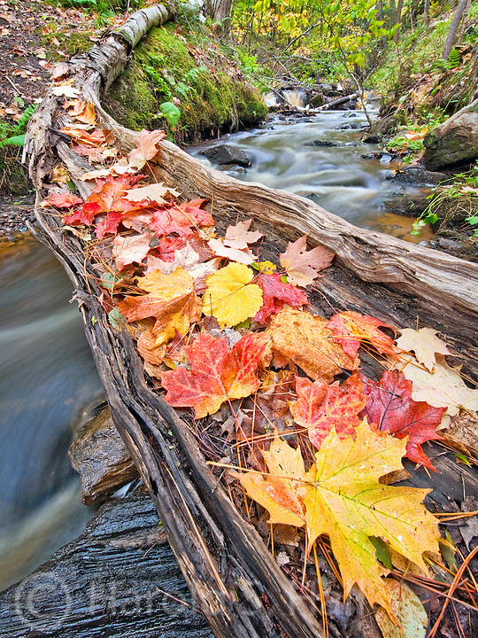 Fall leaves have fallen onto an old decaying log near Munising, Michigan.