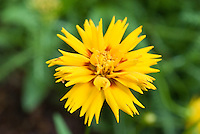 Perennial flower Coreopsis Rising Sun (tickseed) in yellow sunny bloom