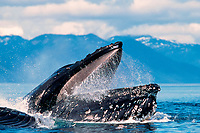 humpback whale, Megaptera novaeangliae, bubble-net feeding, showing open mouth - jaws with baleen, Alaska, USA, Pacific Ocean