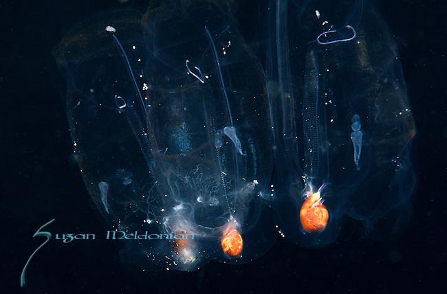 Salp colony