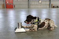 "Pictured: Scamp the sniffer dog.<br /> Re: A tobacco sniffer dog has a £25k bounty on its head according to its owner in Pembrokeshire, Wales, UK.<br /> During his five year career, Scamp the springer spaniel has sniffed out £6 million worth of illegal tobacco, thanks to his powerful sense of smell and natural hunting instincts.<br /> Owner Stuart Phillips said Scamp's success rate at sniffing out illegal tobacco hauls means he poses a big threat to the criminals who smuggle in and sell the goods.<br /> ""We had to stop working in one part of the country last year, because there was a £25,000 bounty put on his head,"" said Stuart.<br /> ""It was believed to be linked to an organised crime group and the relevant authorities were informed.<br /> ""I've also had death threats, my windscreen has been smashed and my tyres slashed,"" he added.<br /> ""It's understandable really, when you're upsetting some really nasty people."""
