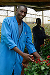 KENYA Thika near Nairobi, Simbi Roses is a fair trade rose flower farm which produces rose as cutting flowers for export to europe / KENIA Thika bei Nairobi, Simbi Roses ist eine fairtrade zertifizierte Blumenfarm die Rosen fuer den Export nach Europa anbauen, chairman fairtrade comitee Julius Kamao