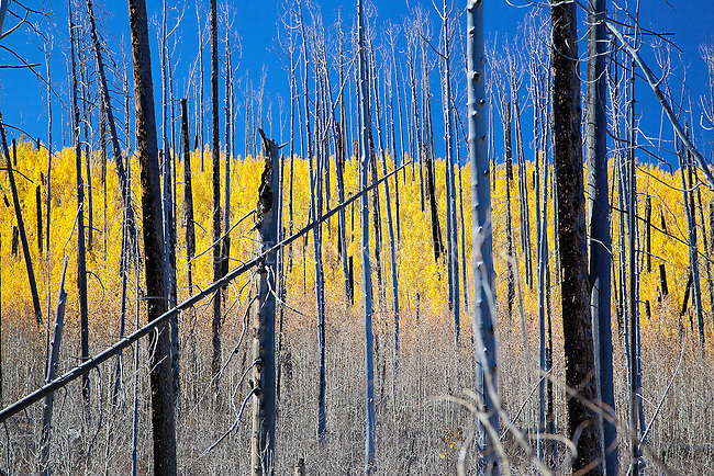 New growth of aspen trees behind a burned area on the north rim of Grand Canyon in Arizona