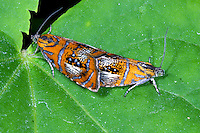 Prachtwickler, Pracht-Wickler, Kopulation, Paarung, Olethreutes arcuella, Olethreutes arcuana, Arched Marble, tortrix moth, pairing, Wickler, Tortricidae, tortrix moths