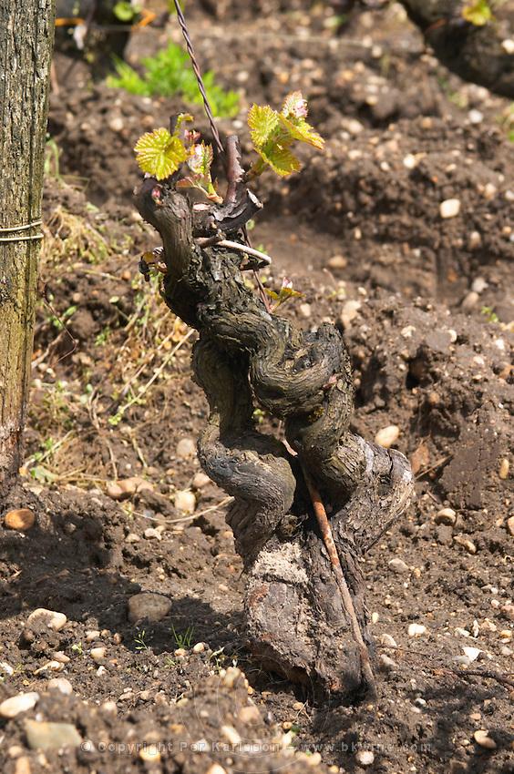 old vine vineyard chateau d'yquem sauternes bordeaux france