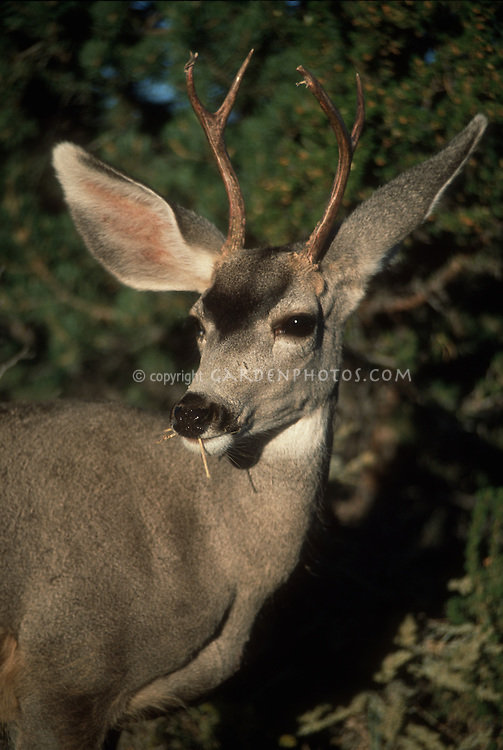 Deer Buck eating plant, Buck, White-tail Odocoileus virginianus
