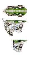 Common Green Grasshopper - Omocestis viridulus<br /> male