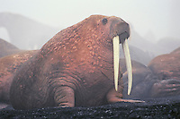 Walrus bull (Odobenus rosmarus), Alaska in fog caused by mass of warm walruses bodies and cool air.