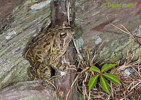 0602-0914  Fowler's Toad, Anaxyrus fowleri [syn: Bufo fowleri (Bufo woodhousii fowleri)]  © David Kuhn/Dwight Kuhn Photography