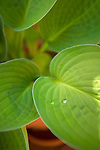 close up of hosta leaves