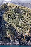 Gray-headed & Black-browed Albatross Nesting