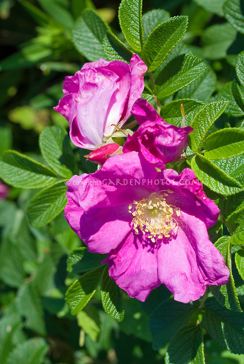 Rosa rugosa Scabrosa Rugosa rose in pink flower