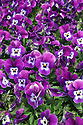 Field of purple pansies
