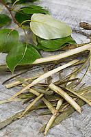 Balsam-Pappel, Balsampappel, Rinde wird mit Messer abgeschält, getrocknet und zu Heilzwecken genutzt, Borke, Populus spec., balsam poplar, bark, rind