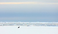Common Minke whale, Balaenoptera acutorostrata, Spitsbergen, Svalbard