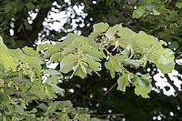 Silber-Linde, Silberlinde, Linde, Tilia tomentosa, Tilia argentea, silver linden, silver lime, Le tilleul argenté, Tilleul de Hongrie