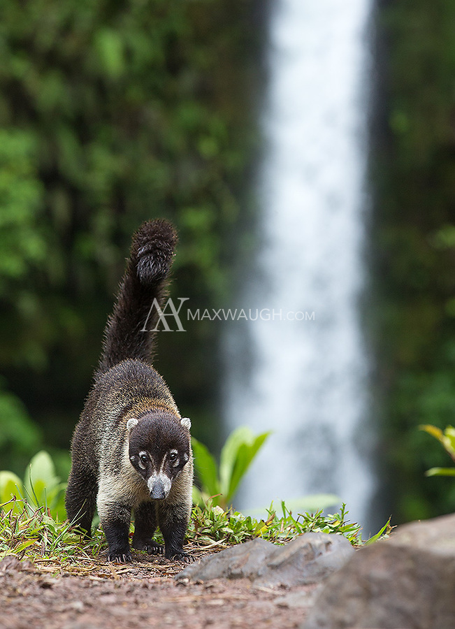 A cousin of the raccoon, coatis often travel in packs. This one was on its own.