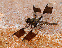 Common whitetail skimmer male