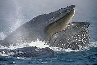 humpback whale, Megaptera novaeangliae, bubble net feeding, the fog, Icy Strait, Alaska, USA, Pacific Ocean