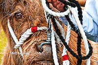 Echt Show. Highland cattle. 2013 was the 160th anniversary of The Echt Show. copyright Bill Bagshaw dsider.co.uk online magazine, photo courses