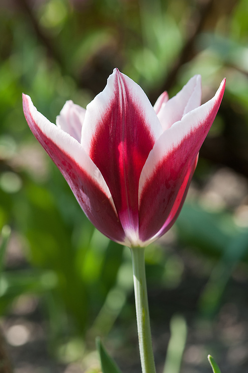 Tulip 'Rajka' (Triumph Group), late April.