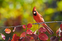 northern cardinal, Cardinalis cardinalis, adult male on crape myrtle, Lagerstroemia, New Braunfels, San Antonio, Hill Country, Texas, USA, North America