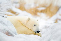 Polar Bear, Ursus maritimus, resting on ice covered rock near Hudson Bay coast, Churchill, Manitoba, Canada, polar bear, Ursus maritimus