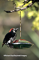 01198-00105 Acorn Woodpecker (Melanerpes formicivorus) male on nectar feeder, Madera Canyon   AZ