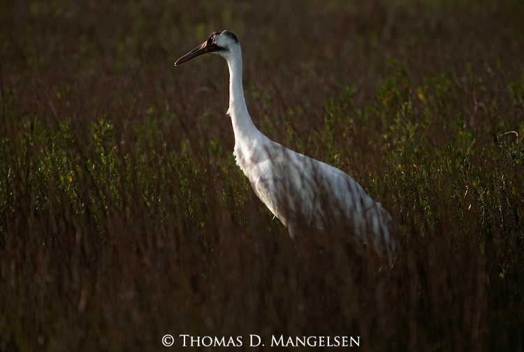 Whooping crane walking through a field in Aransas National Wildlife Refuge, Texas