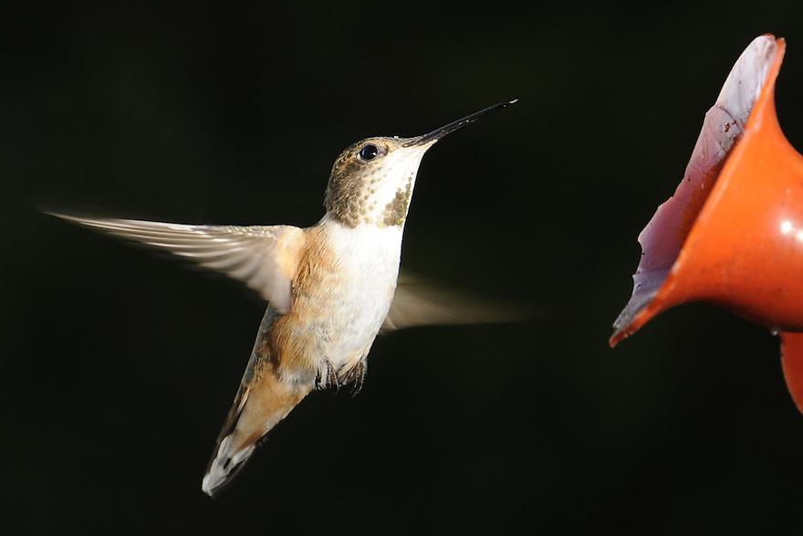 A hummingbird approaches a feeder near Columbia Falls, Montana.
