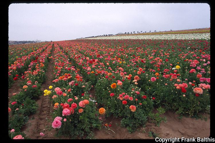 flower field in Carlsbad